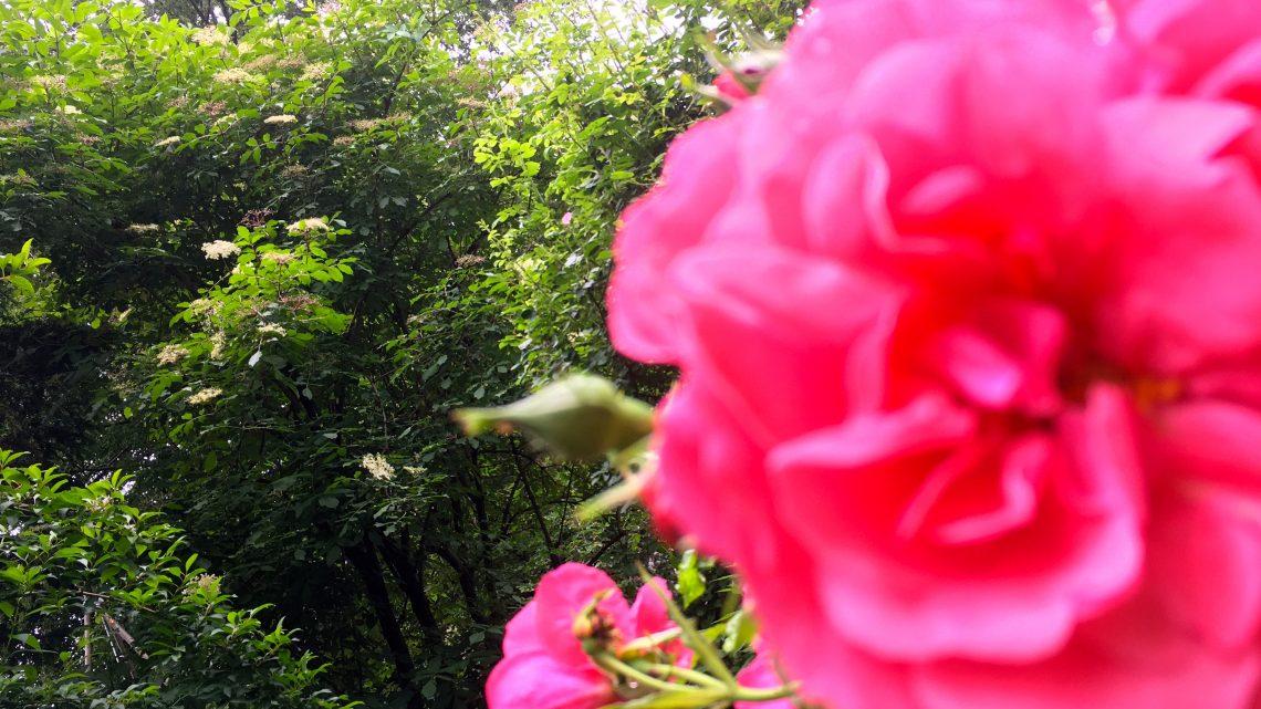 Wenn sich Rosenblüten und Holunder finden.