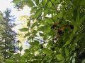 Die vollen Beeren der Hollermutter